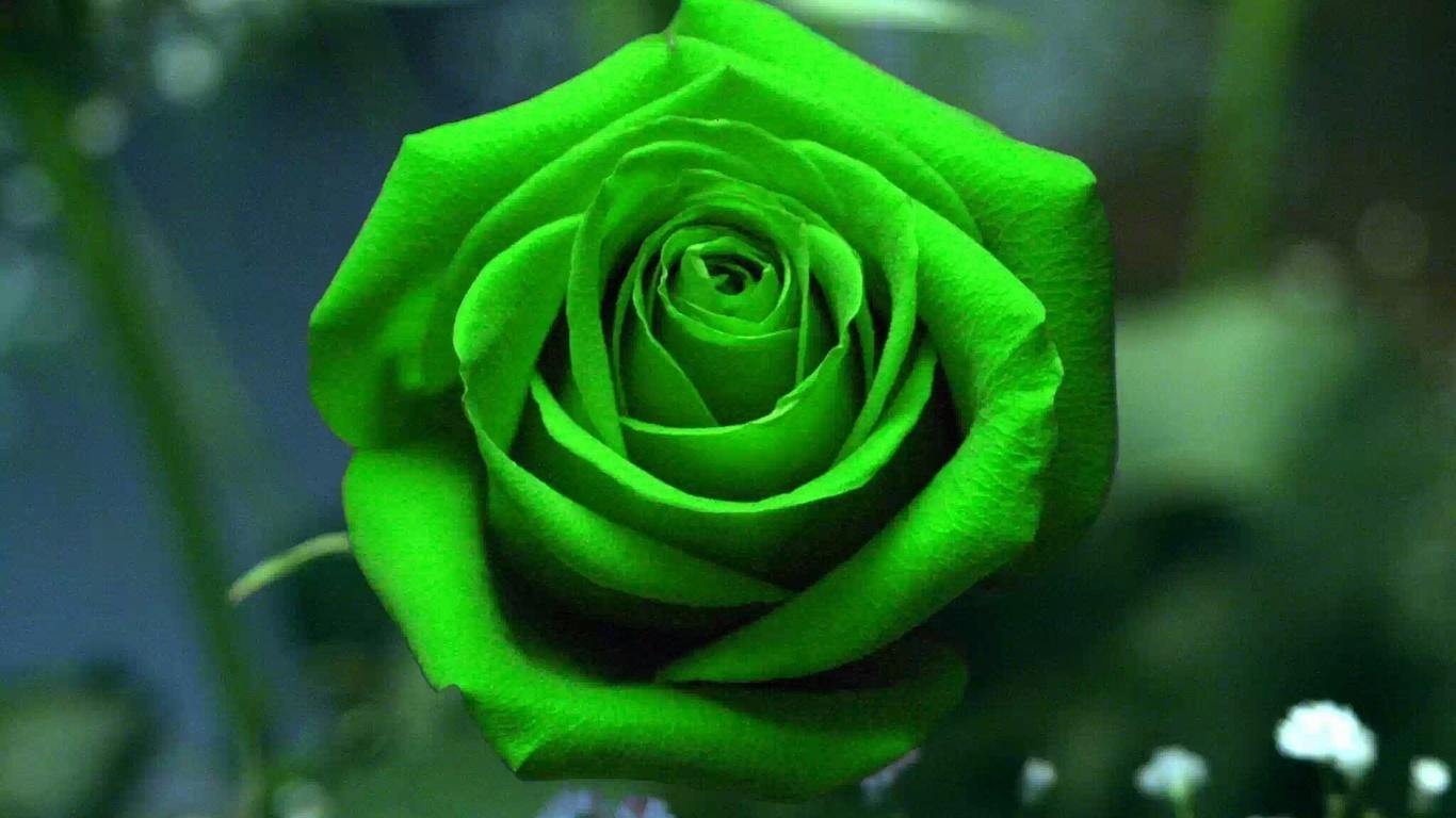 Картинка зеленая роза фото