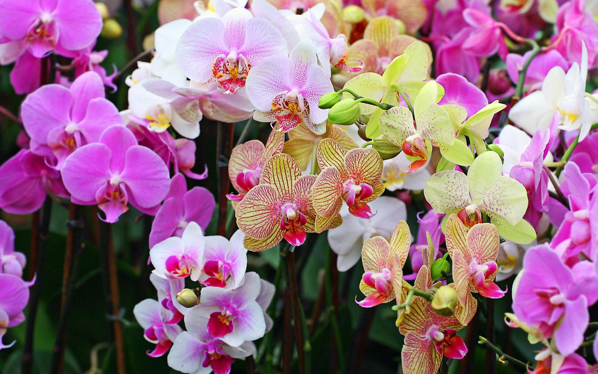 Орхидеи очень красивые картинки