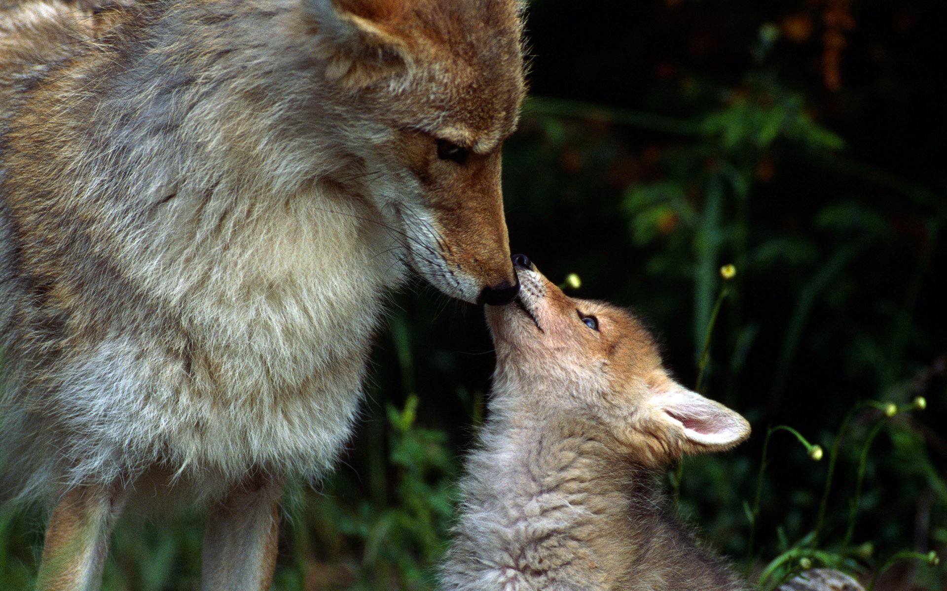 фотографии волка и лисы связи