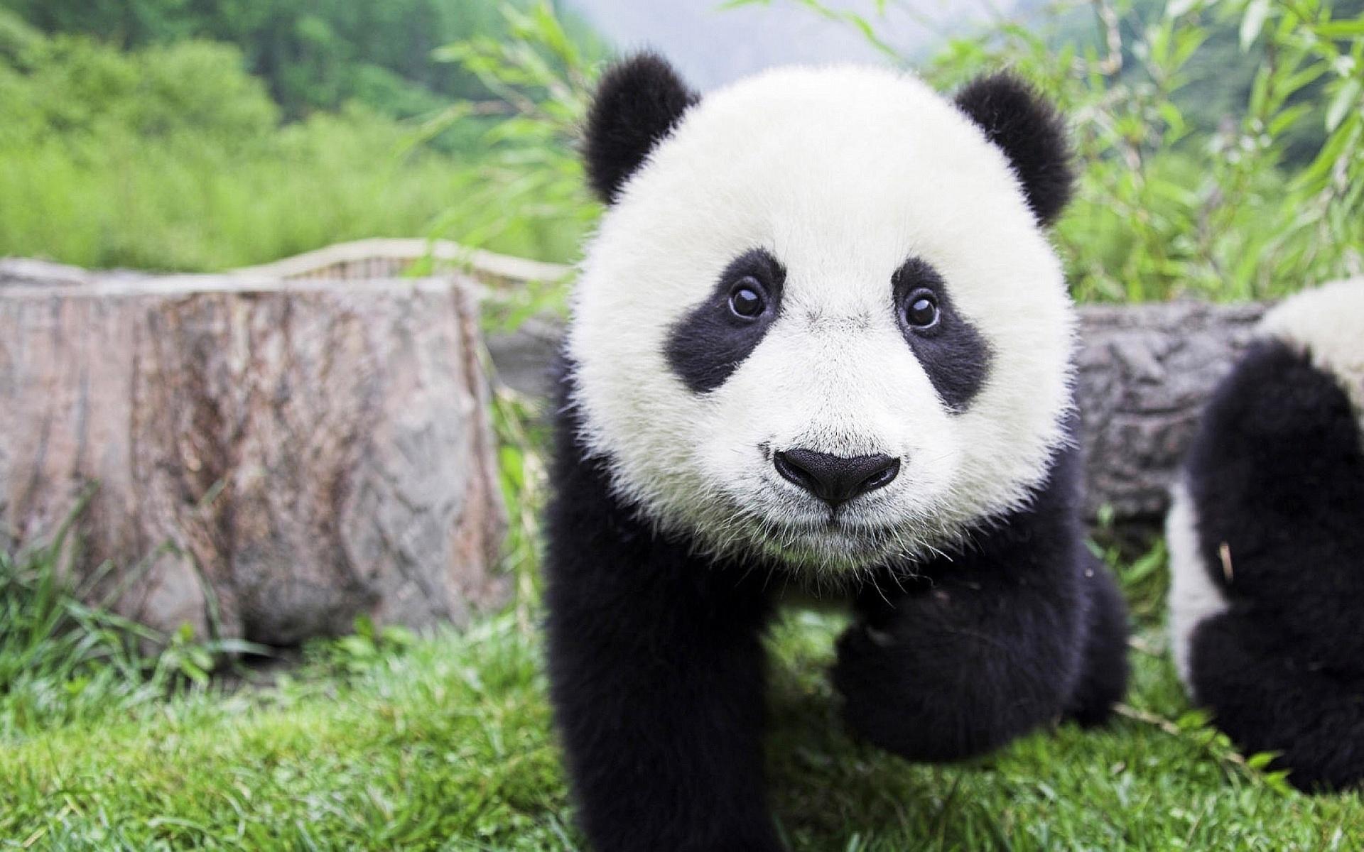 Панда животное картинка