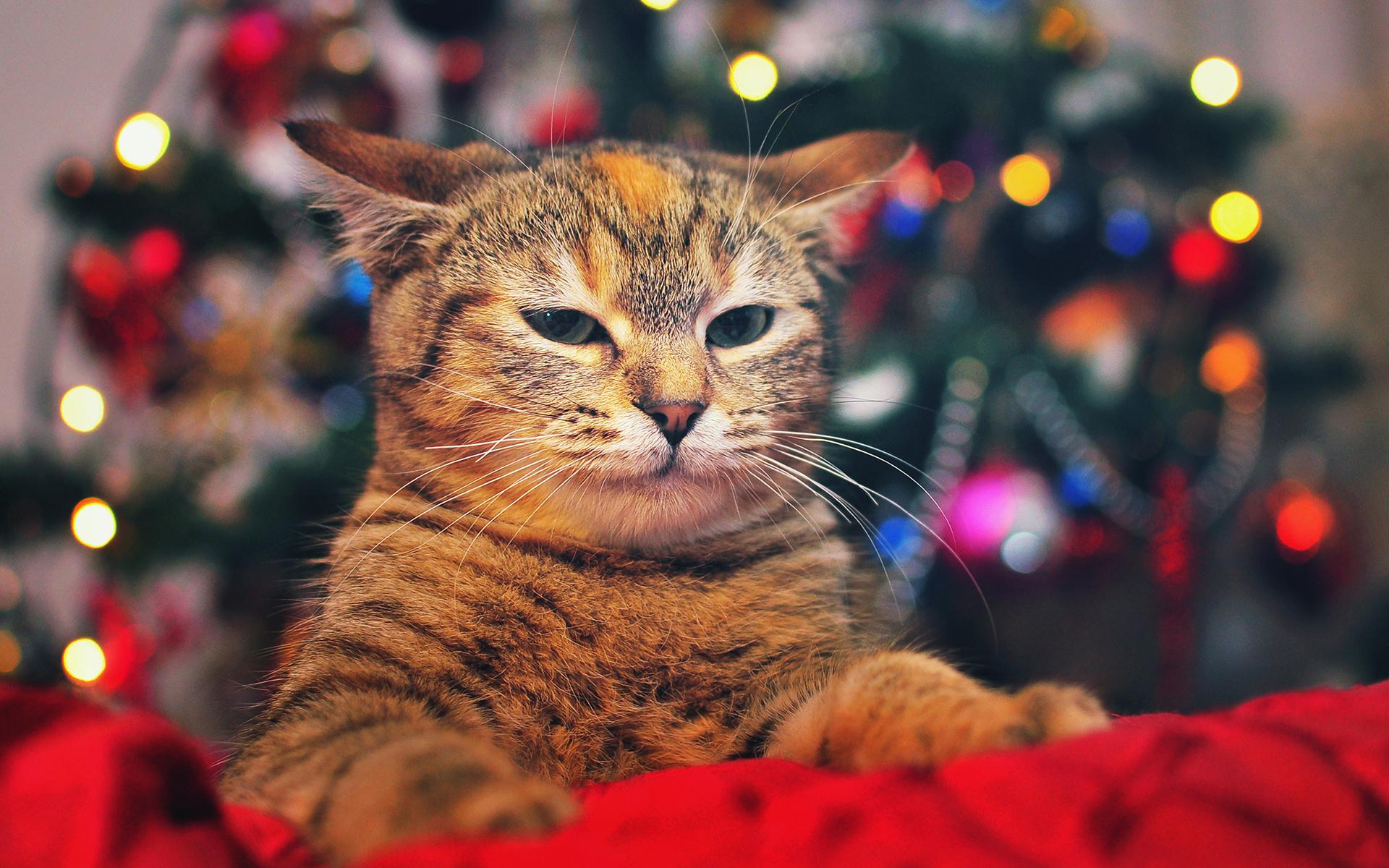 очень новогодние фотографии с кошками стояла