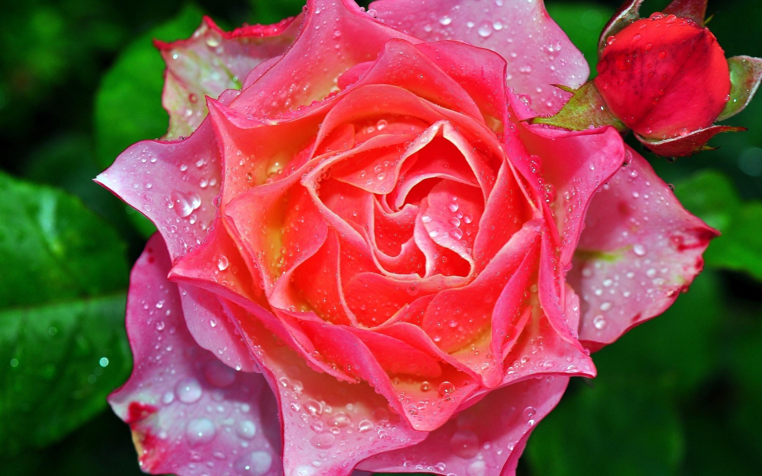 Картинка красивой розы с росой