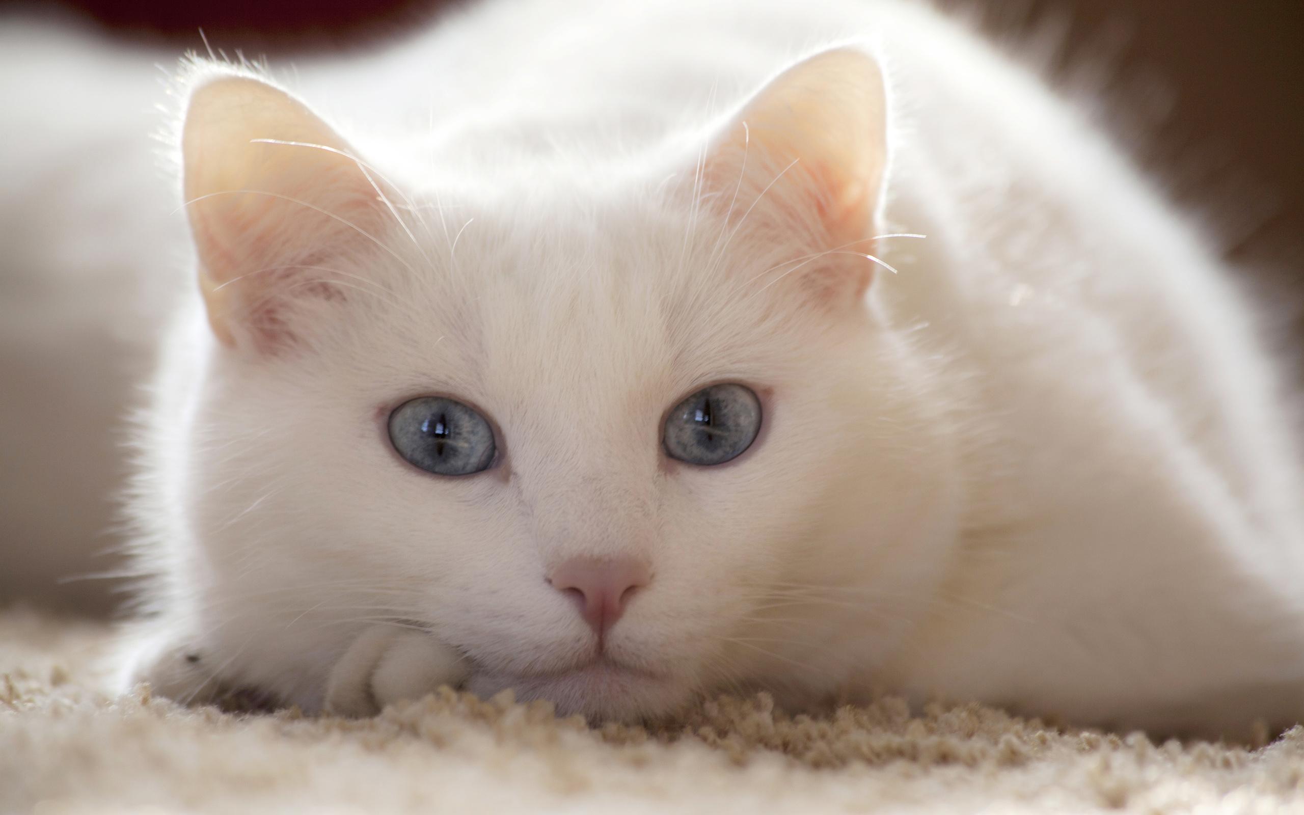 Красная горка, кот белый картинки