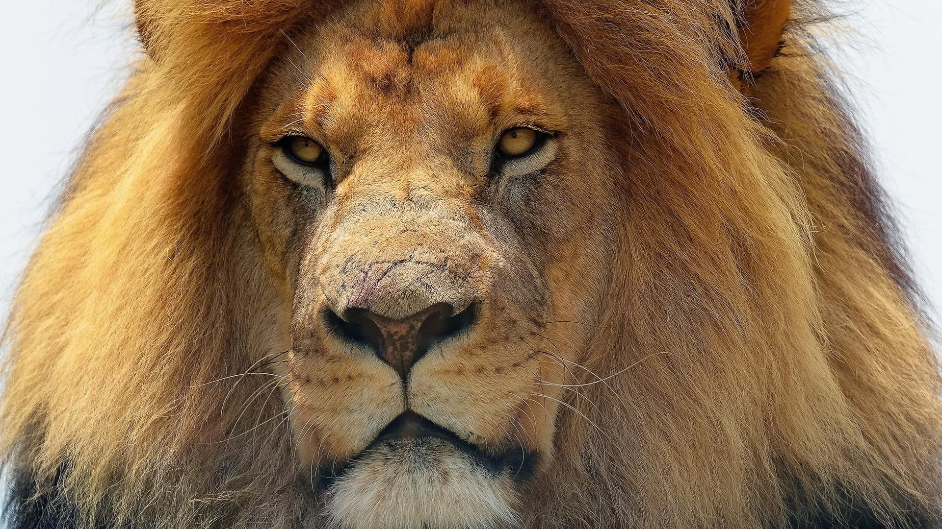 интересные картинки льва нагревательная сушильная