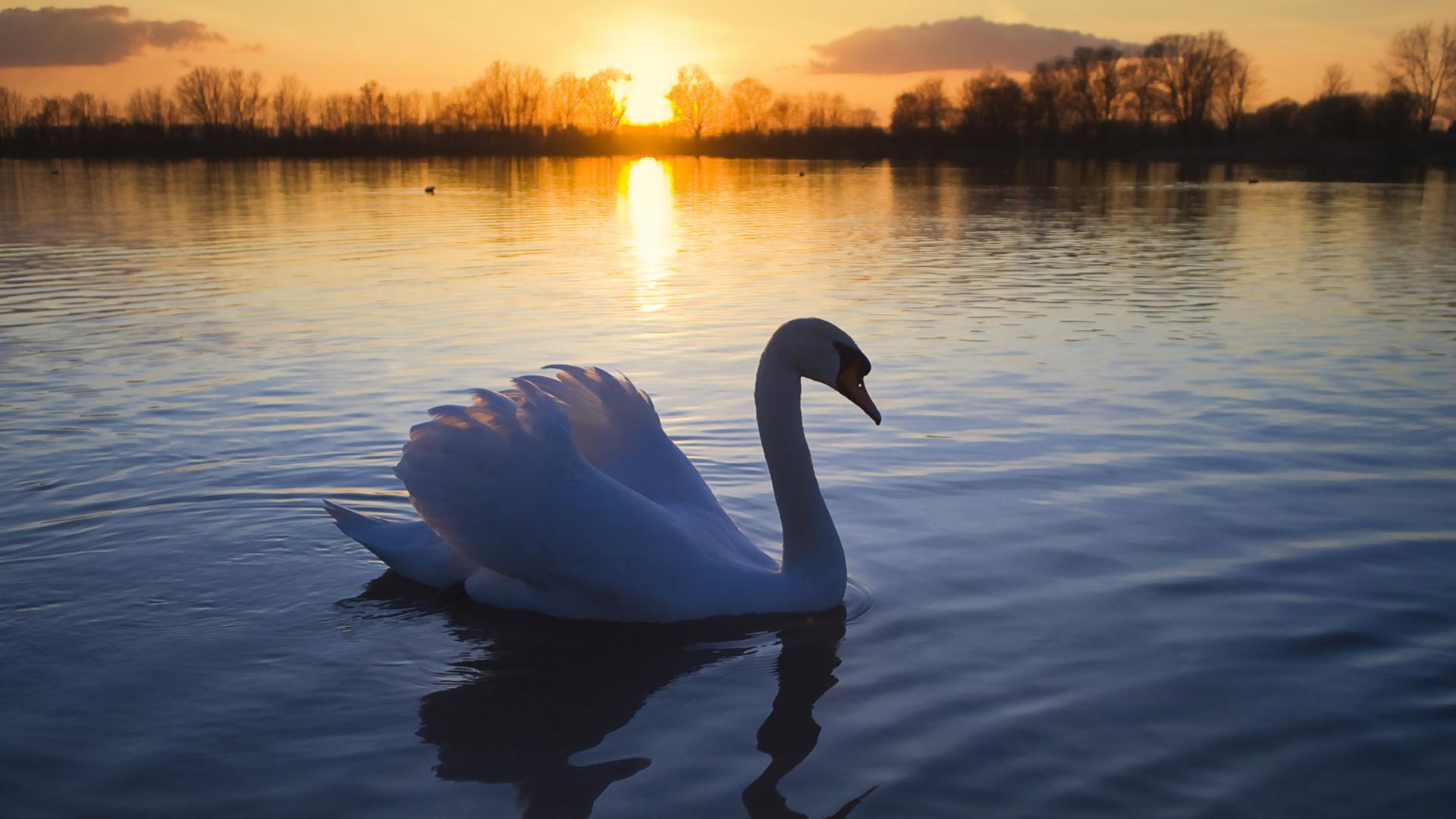 Открытка свадьбы, картинки лебеди на озере любовь