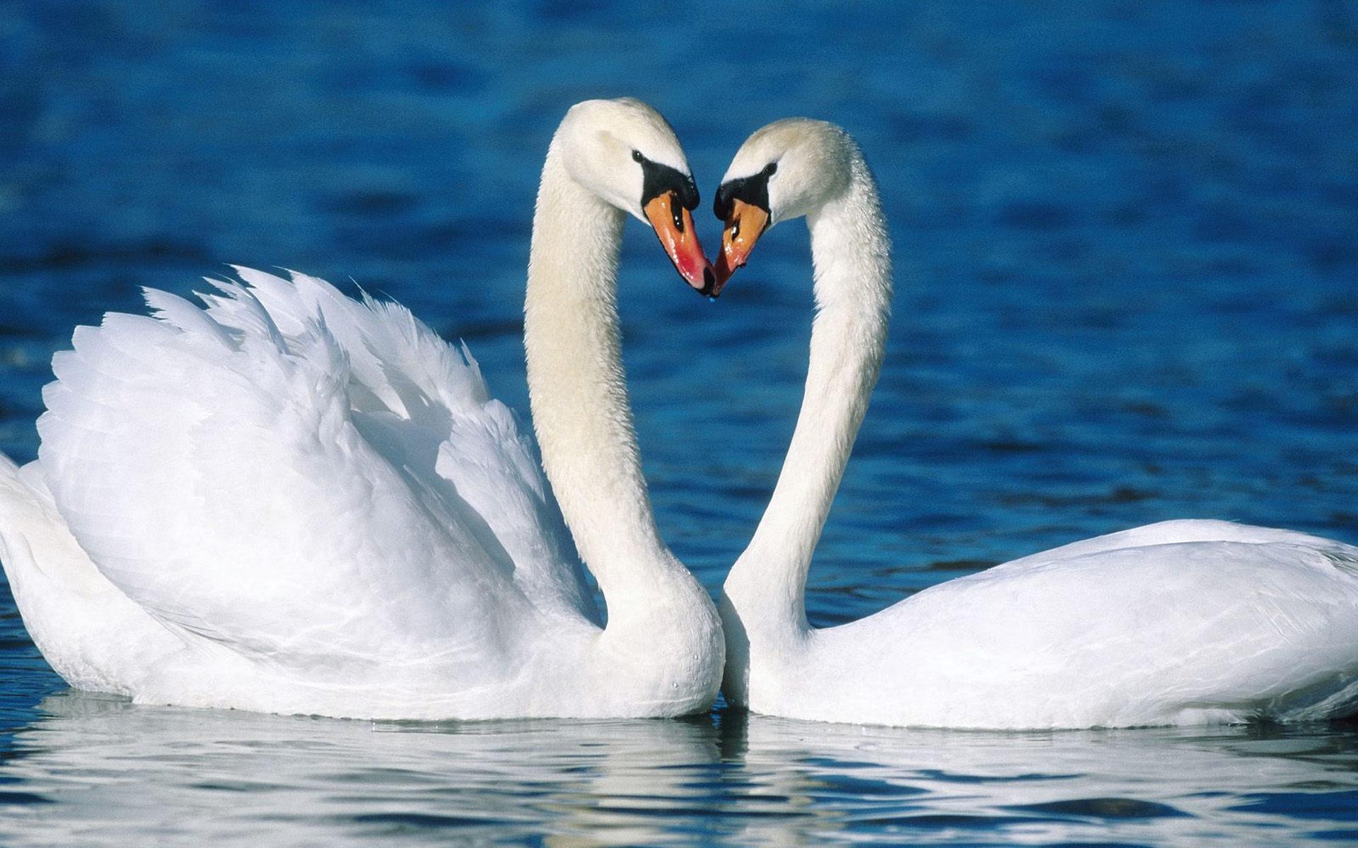 свадебные картинки с лебедями