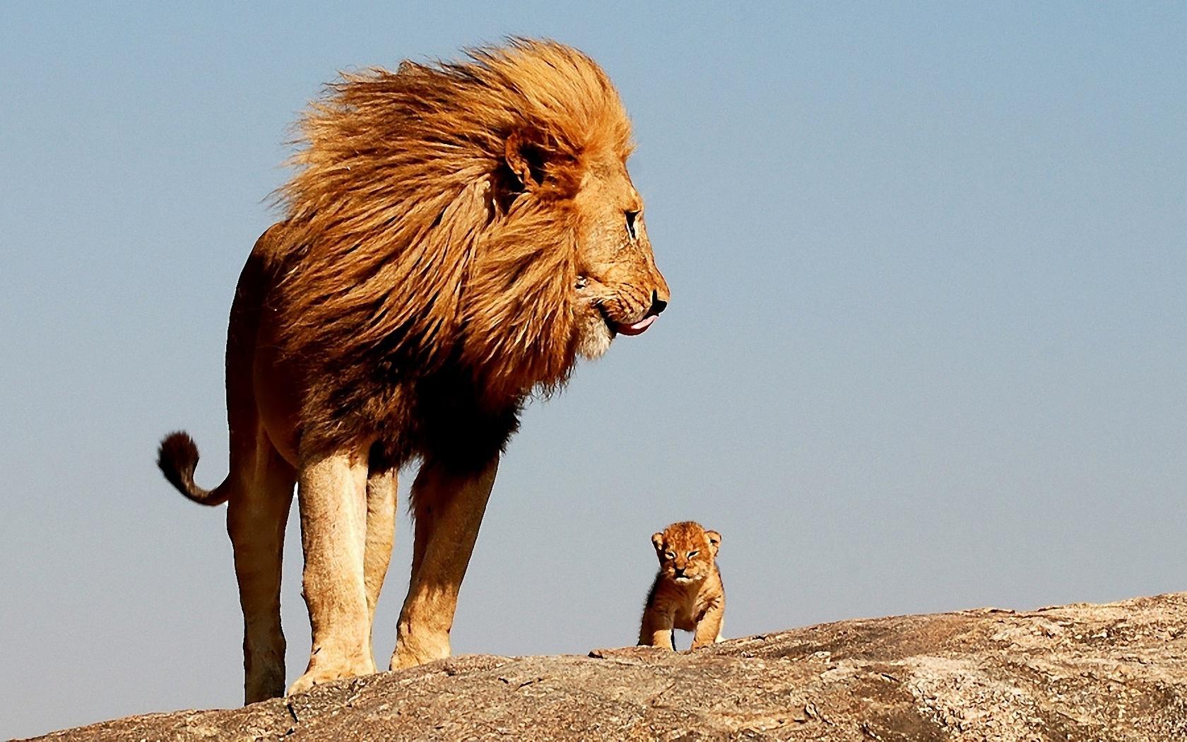 лев и его младенец картинки после того, как