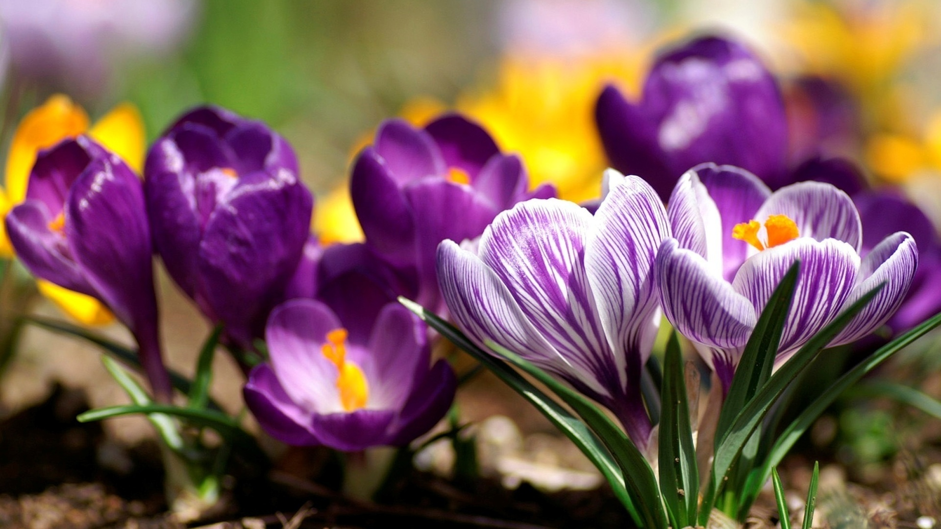 Картинка цветочки весенние