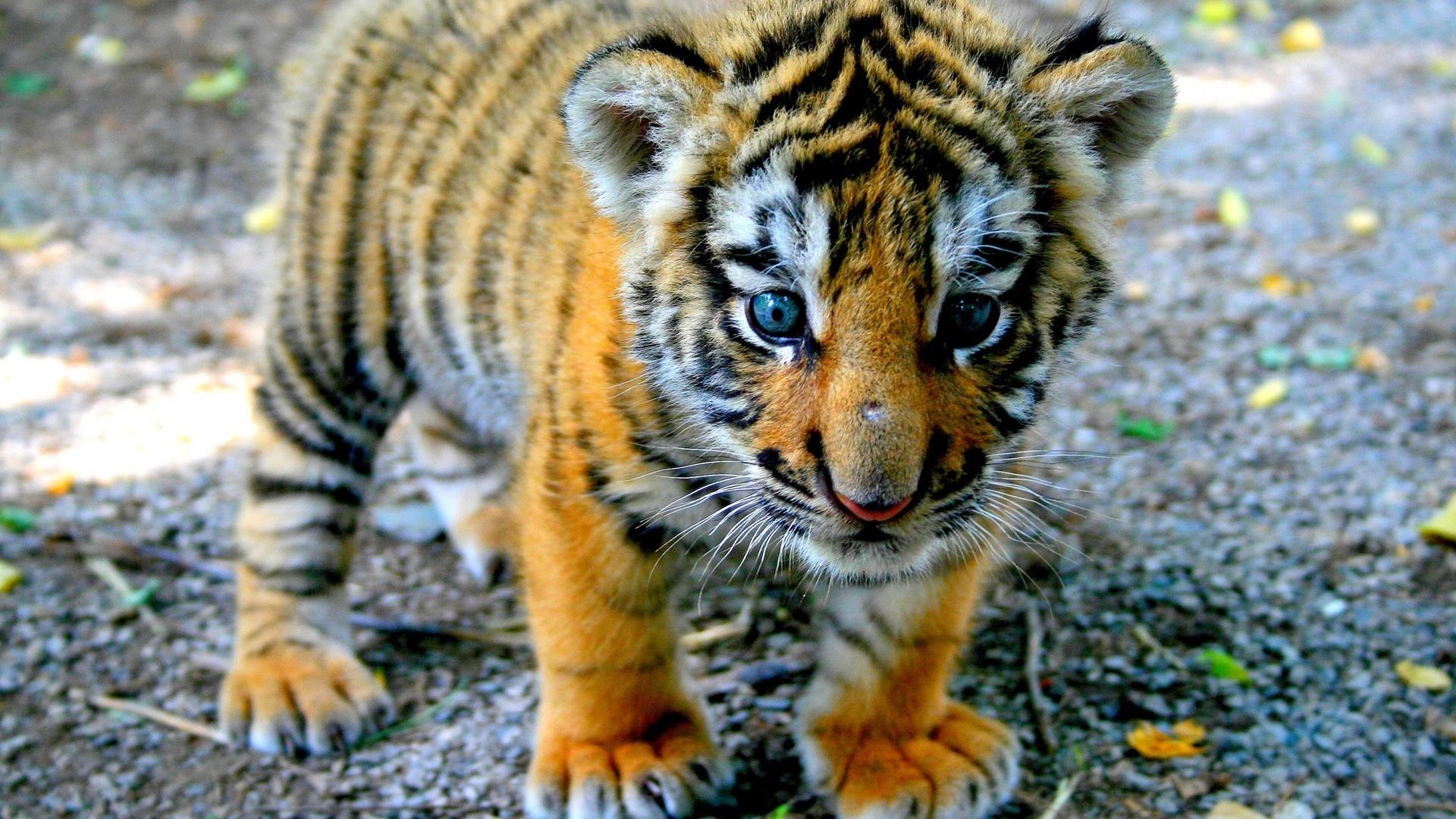 картинки маленькой тигрицы имеют мягкий