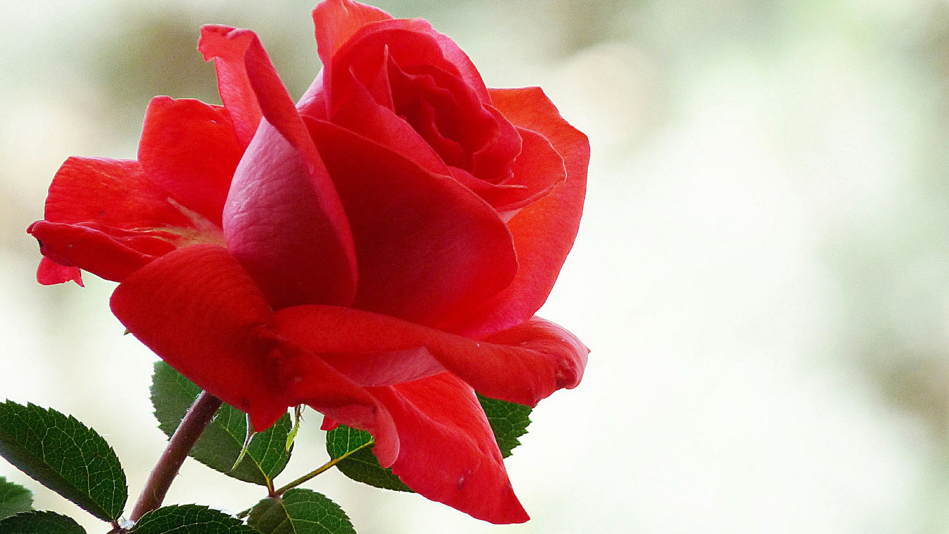 открытка одна крупная роза этой статье
