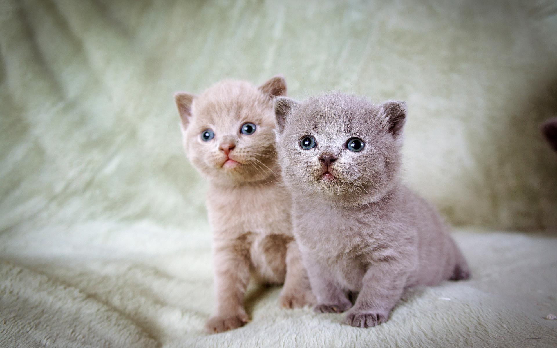 Смотреть картинки про котят британский