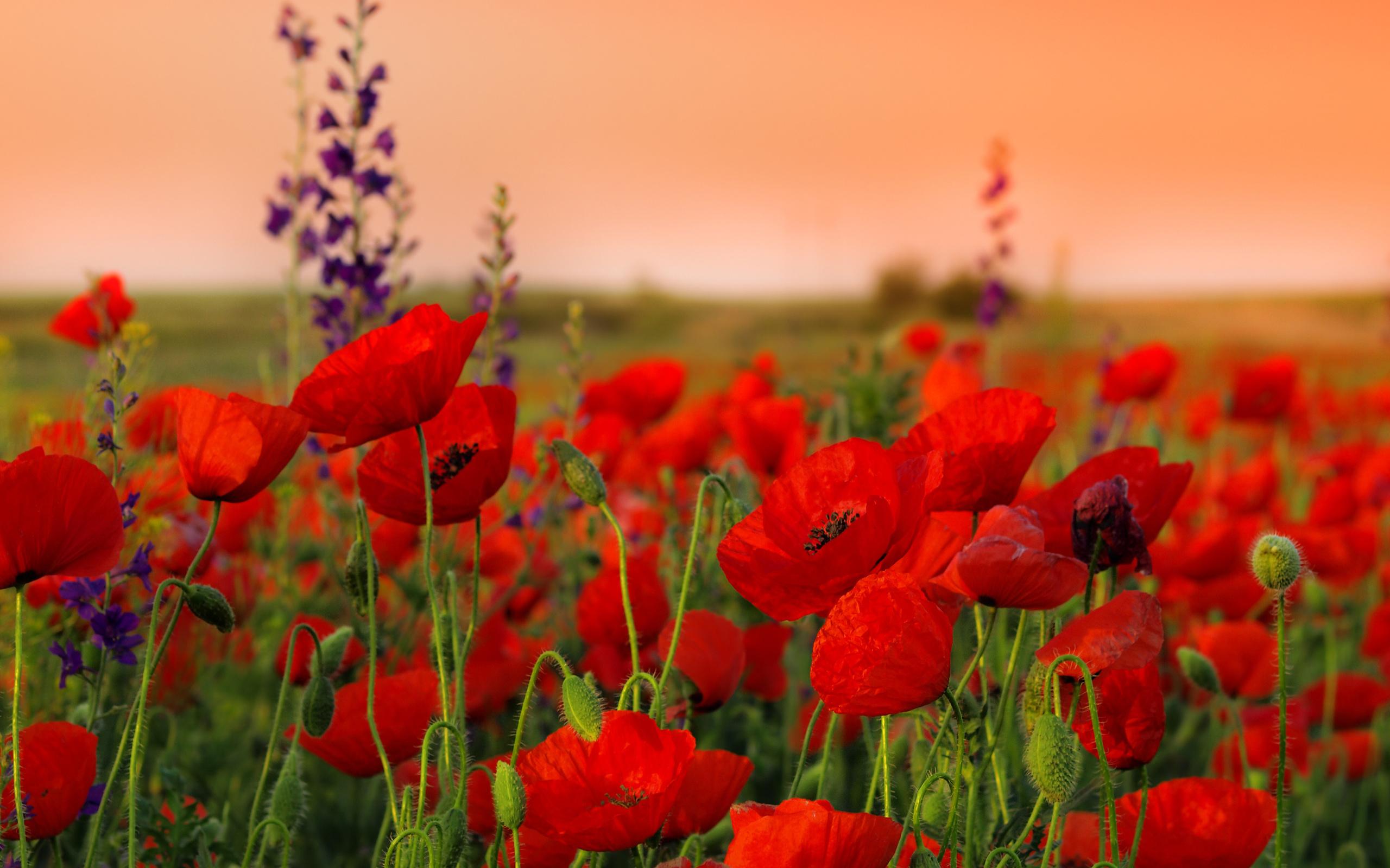Картинки природа поле цветов, доброго утра