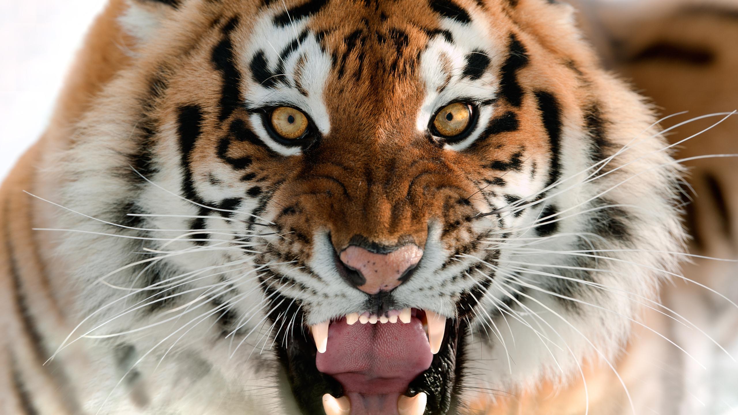 Надписями, тигры фото картинки оскал