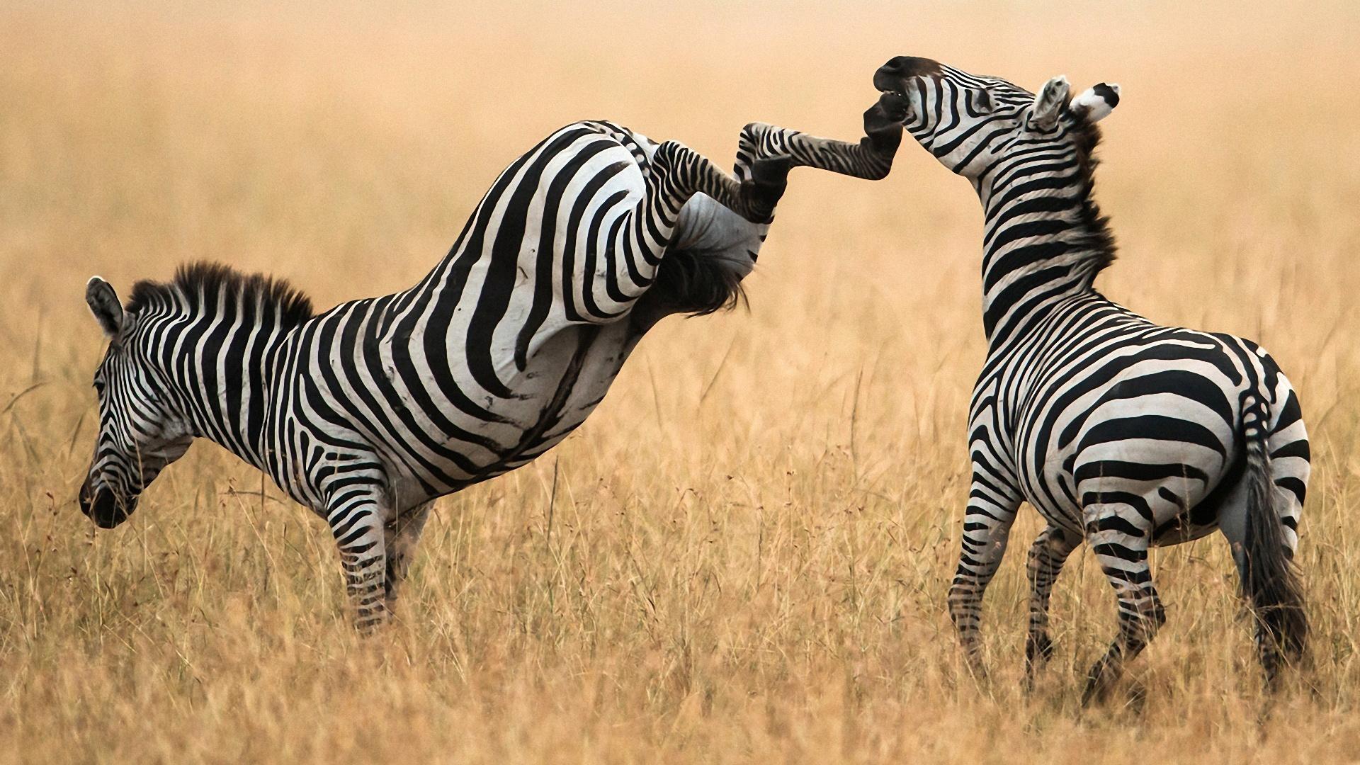 покажи картинки зебры как ее любить а не говори хорошего делают для