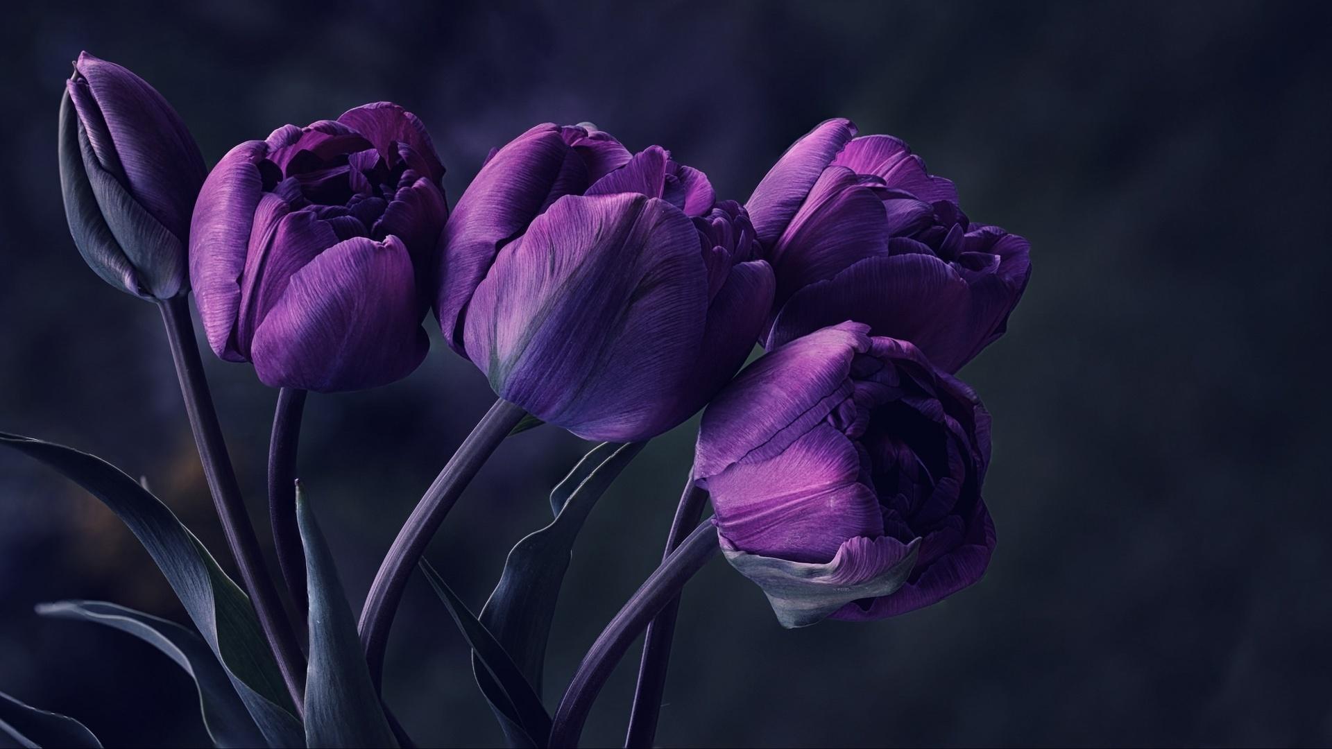 тюльпаны на темном фоне картинки знаковые