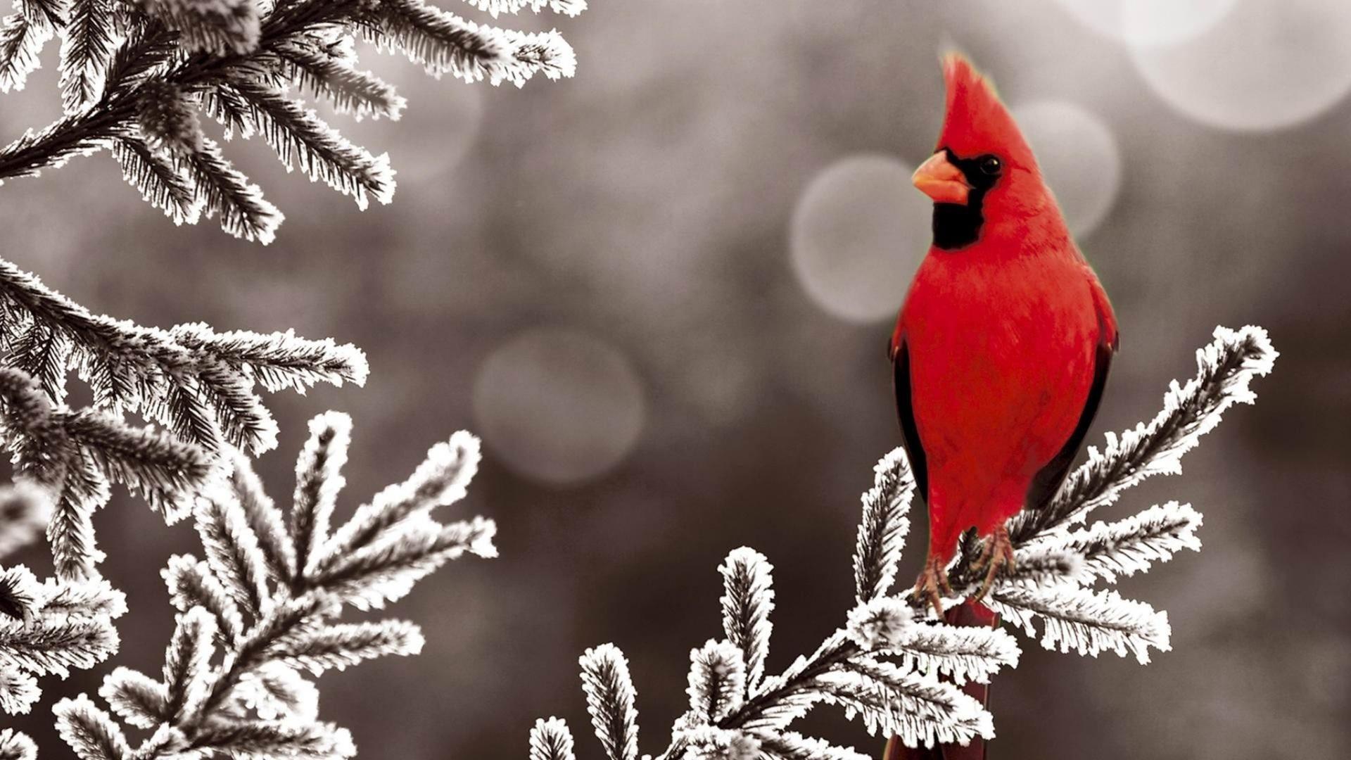 фото зима снегири красные большие красивые вот мобильный интернет