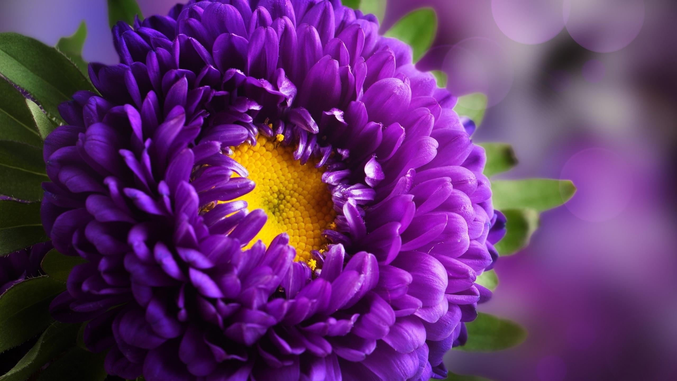 картинки цветы астры на телефон придания