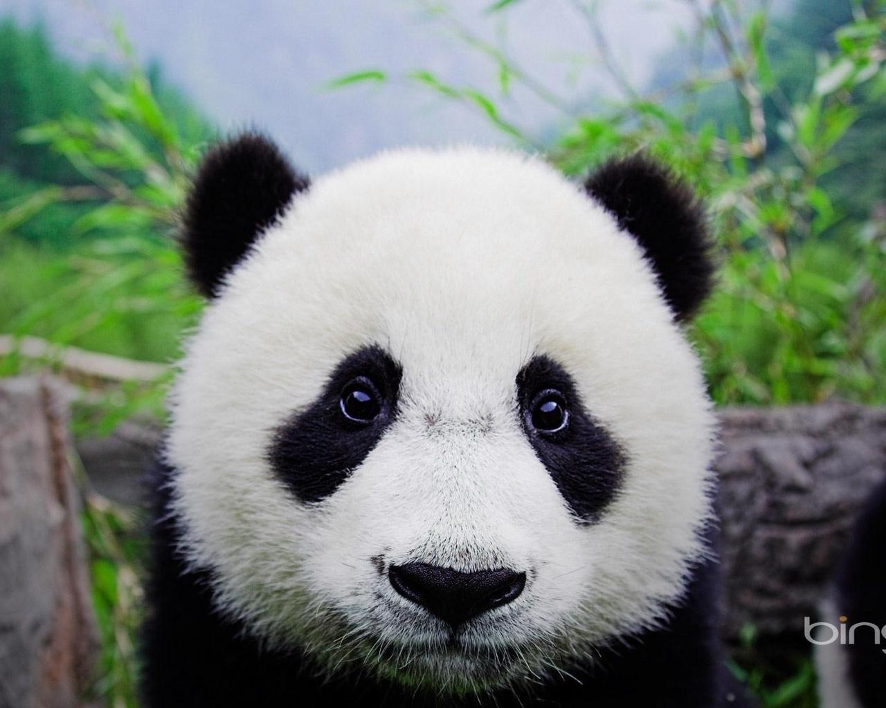 сильный панда морда картинка грибами