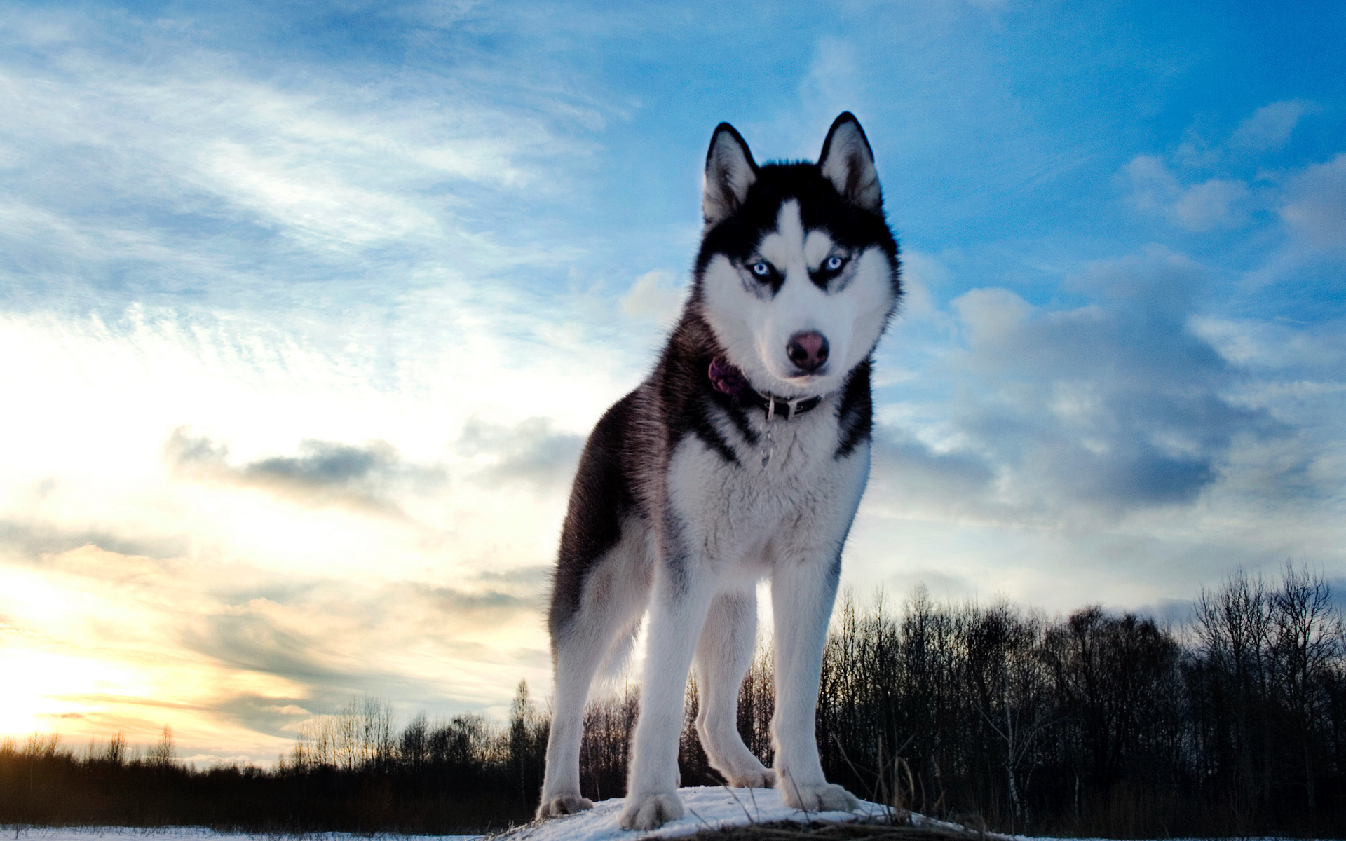 летнее красивые картинок собак хаски целую прошу ангелов