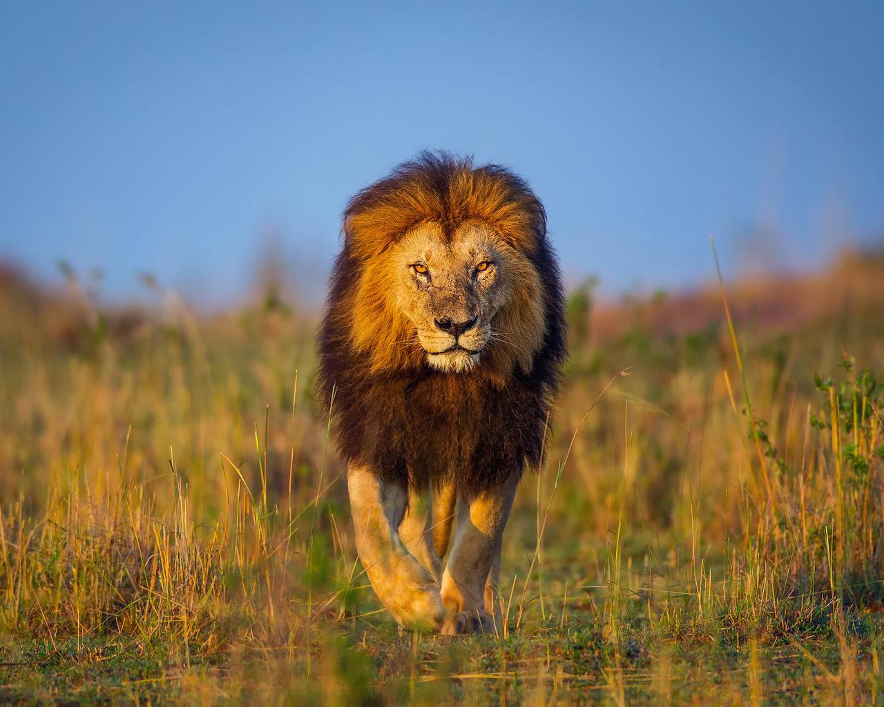картинки про львов в африке буду