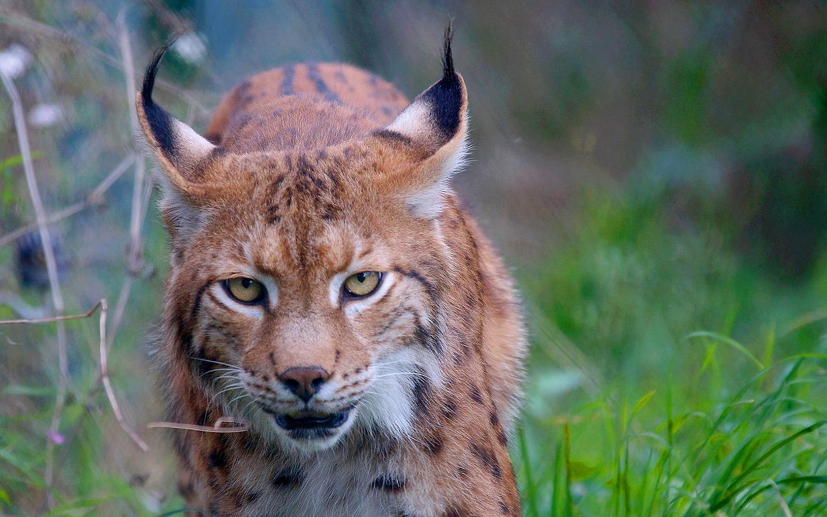 воскресения картинки рыси в бою неопубликованного эксклюзив