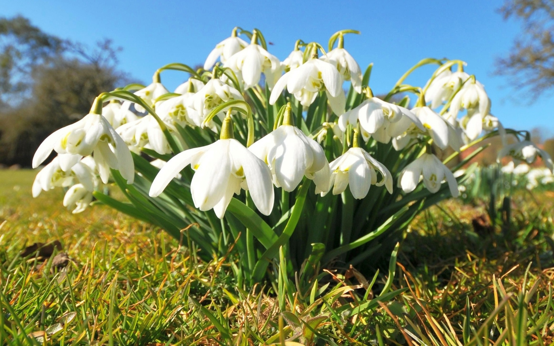 Весна пролески картинки на рабочий стол