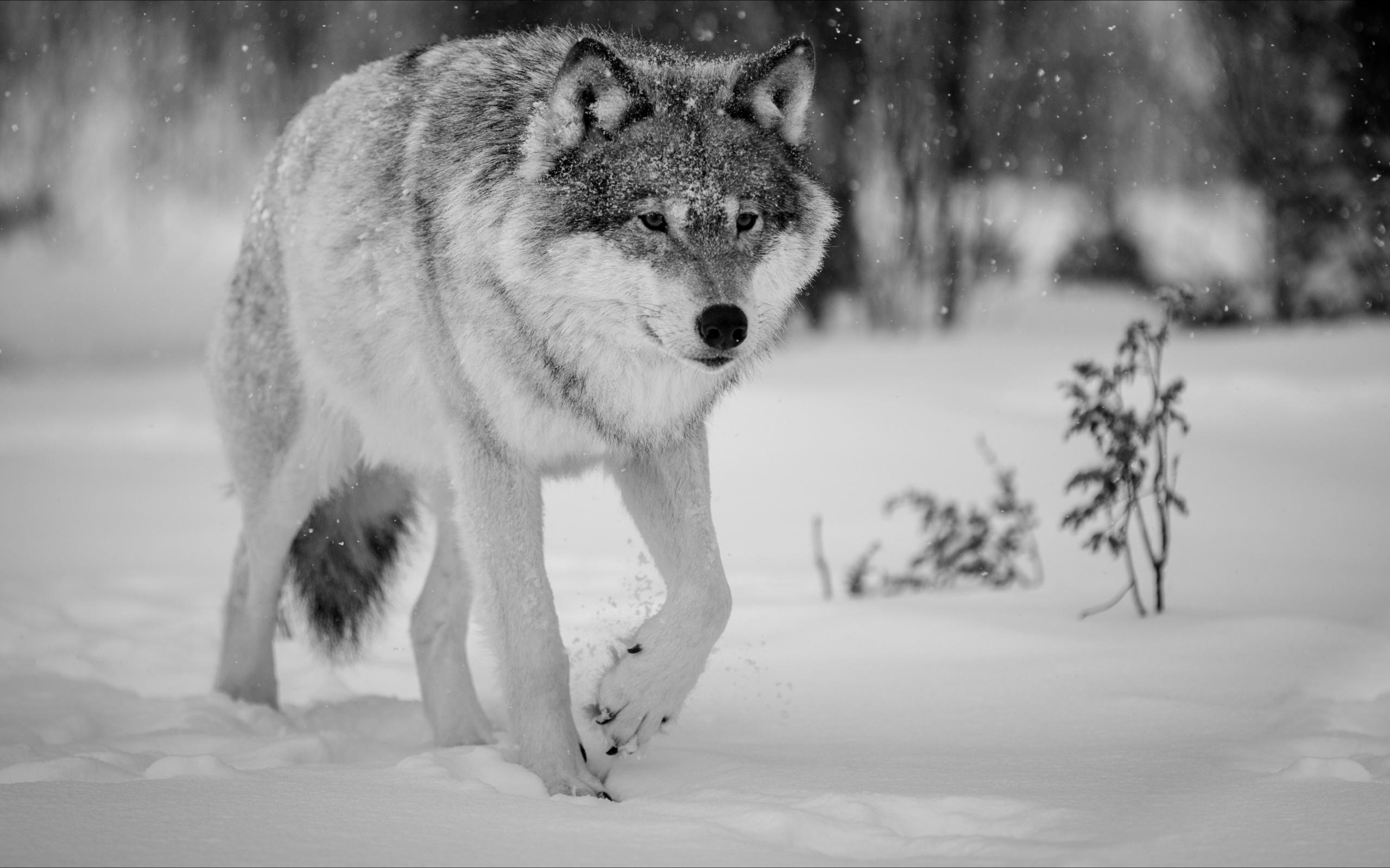 маникюр фото зимние картинки с волками своему предыдущему