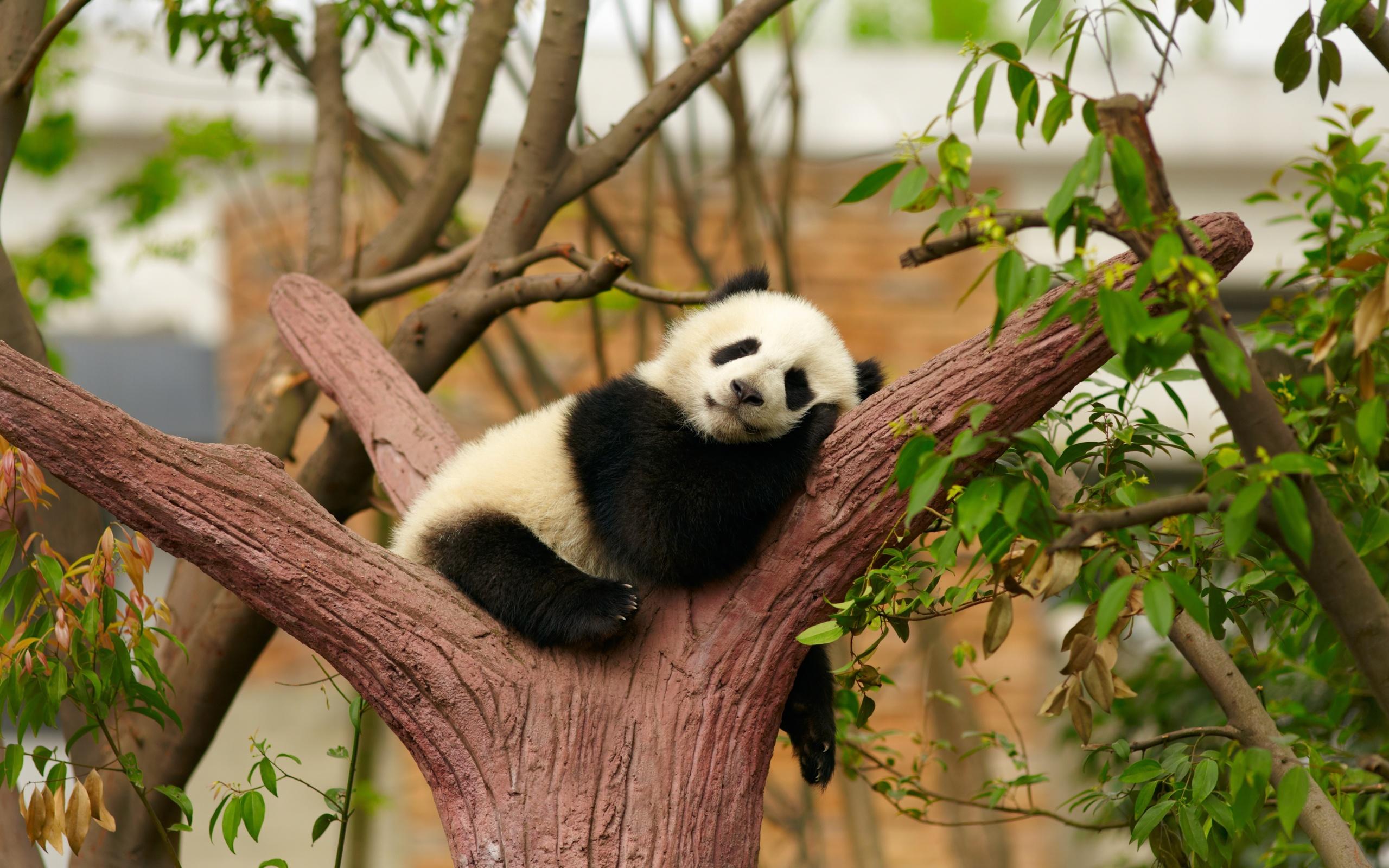 Панды на дереве картинки