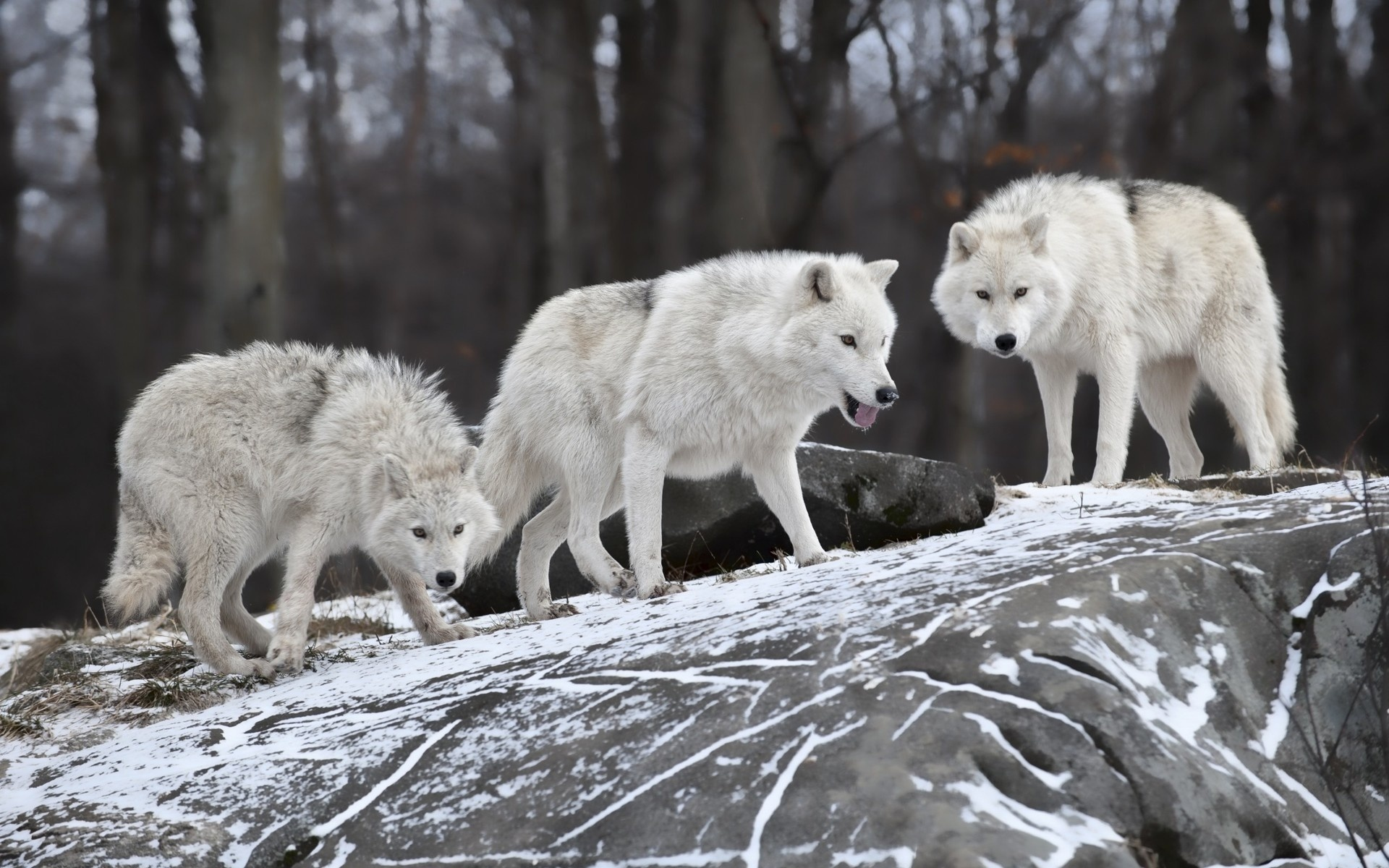 Фото белого волка в хорошем разрешение
