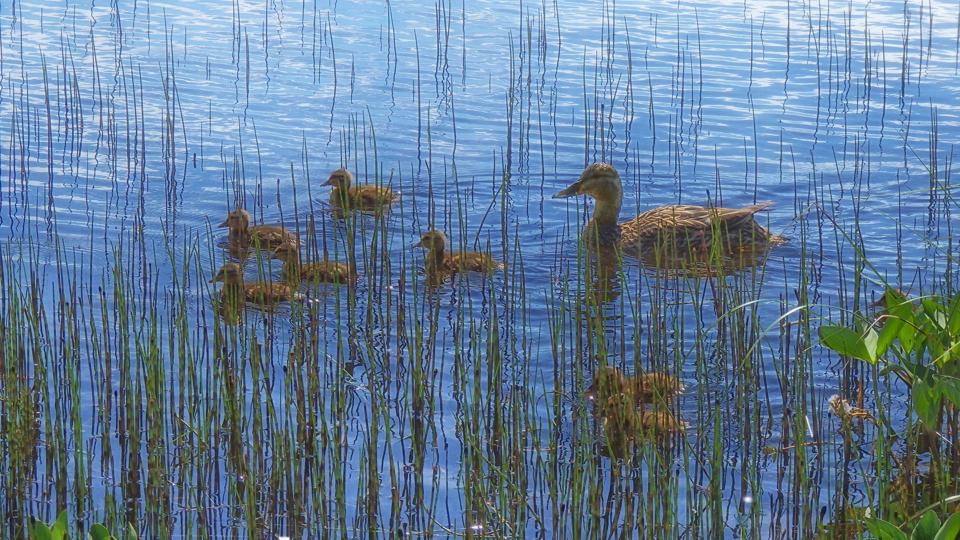 картинки озеро и камыши с утками дьявольские возлюбленные райто