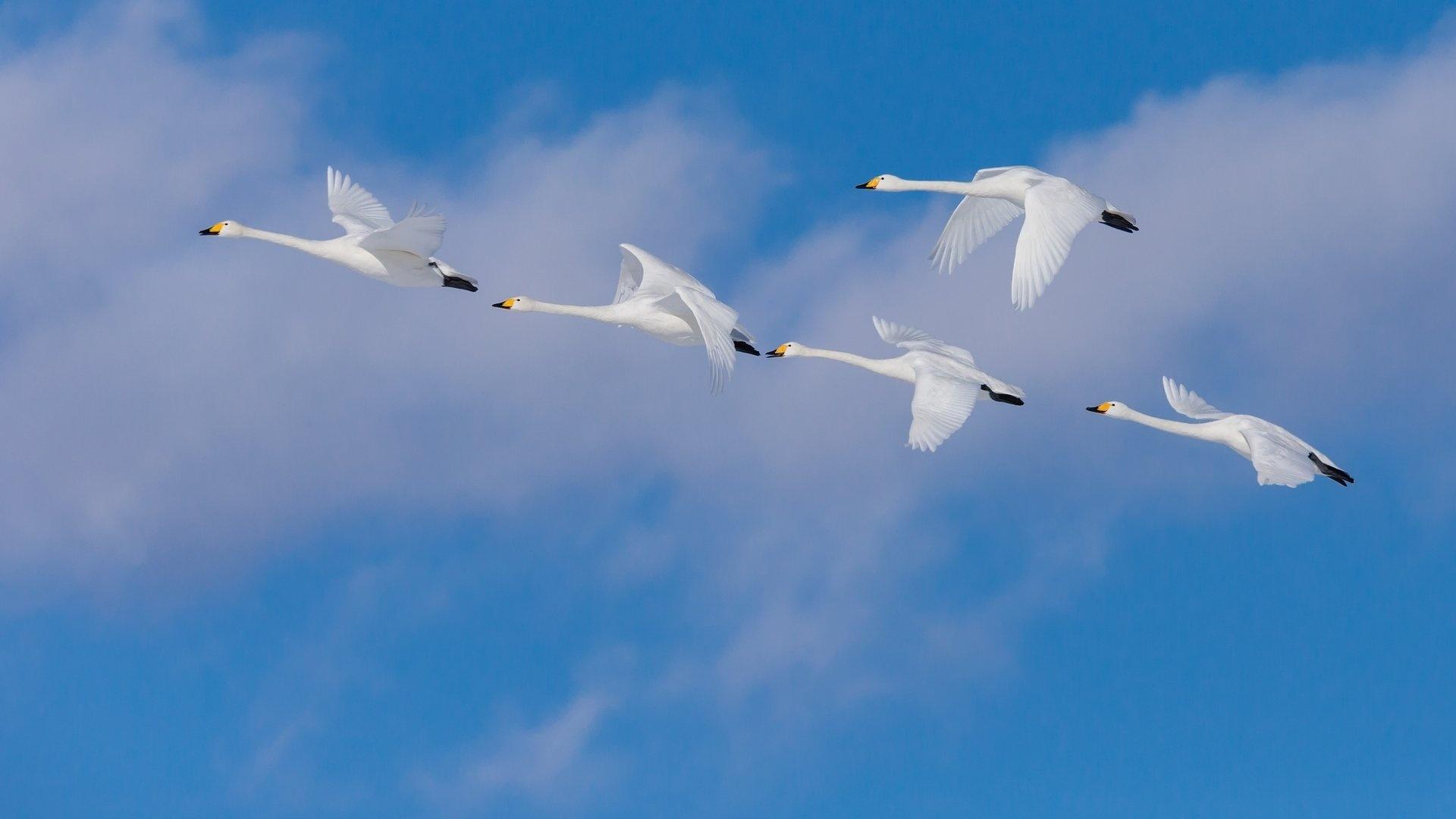 Фотографии лебедей в высоком качестве считается