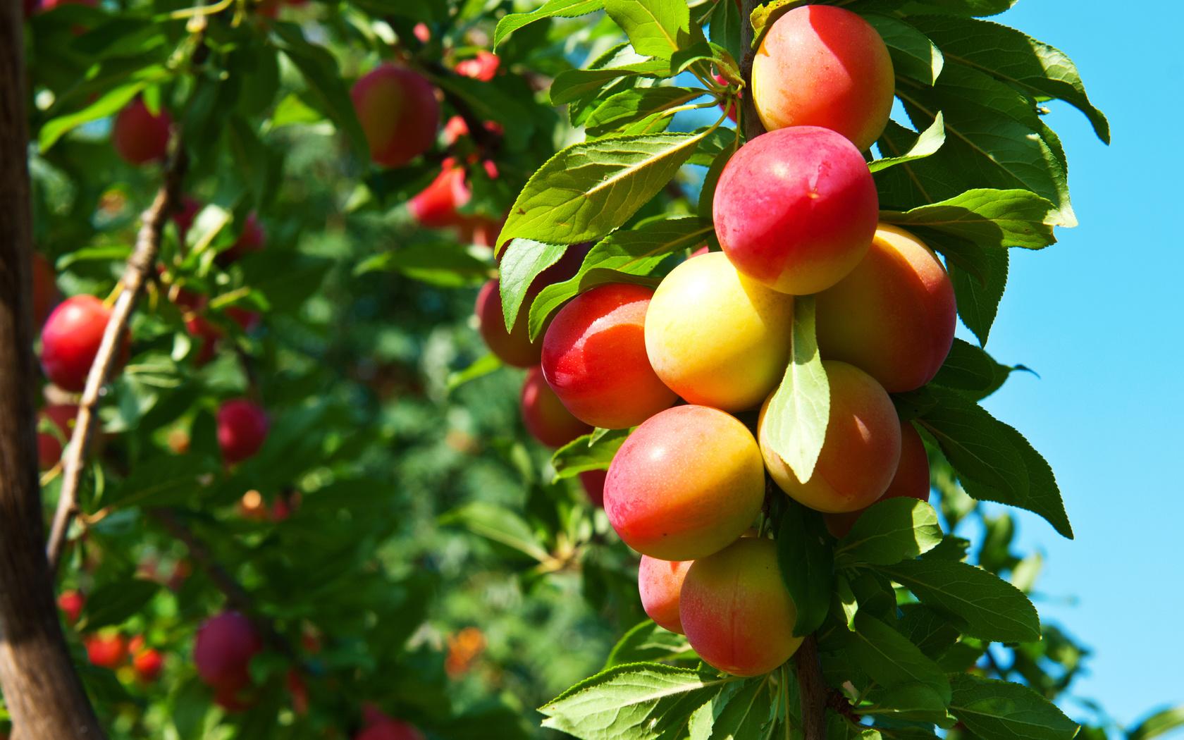 картинки деревьев с фруктами и ягодами вам повезет увидеть