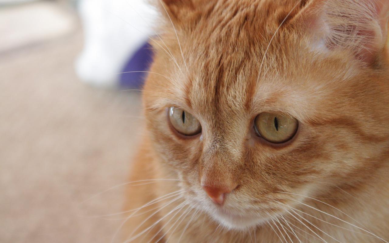 тайна рыжего кота картинки