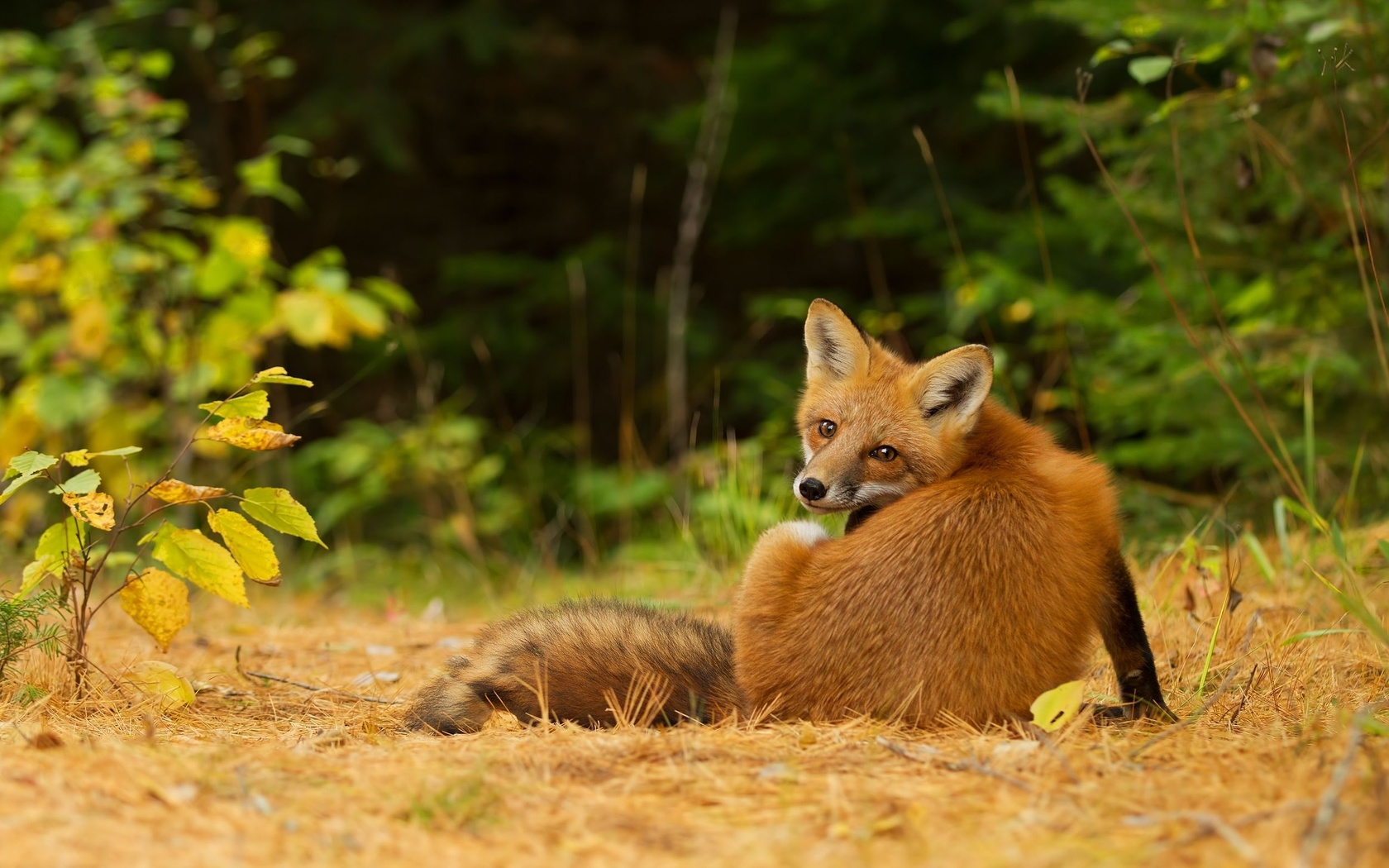 Картинки лисичка в лесу