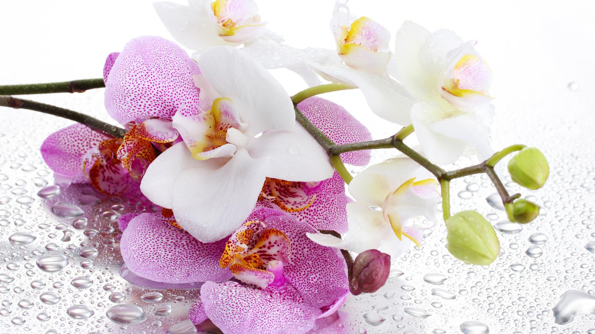 живые цветы орхидеи картинки