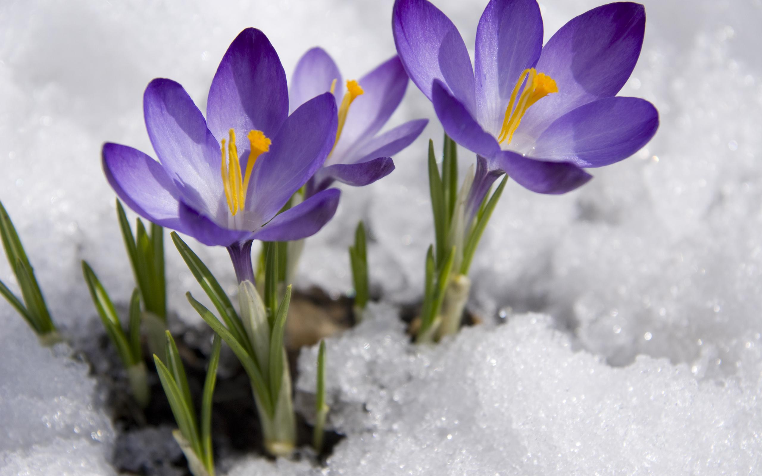 все картинка с первыми весенними цветами посещения