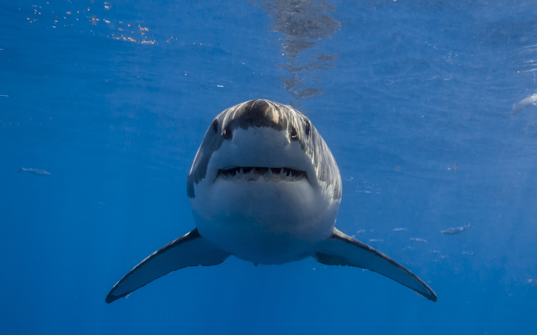 Акула фотографии животного