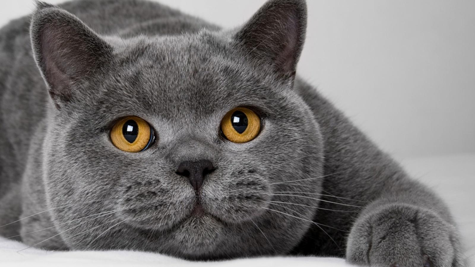 Картинки британских котов приколы, днем