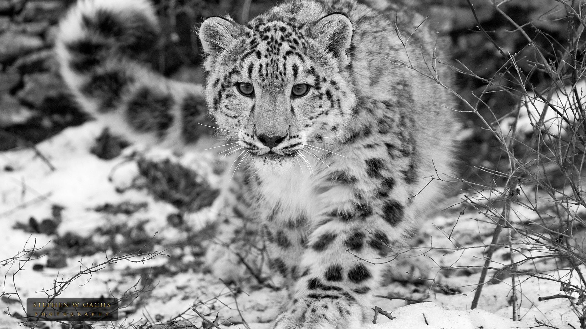 белый леопард картинки стадион зенит