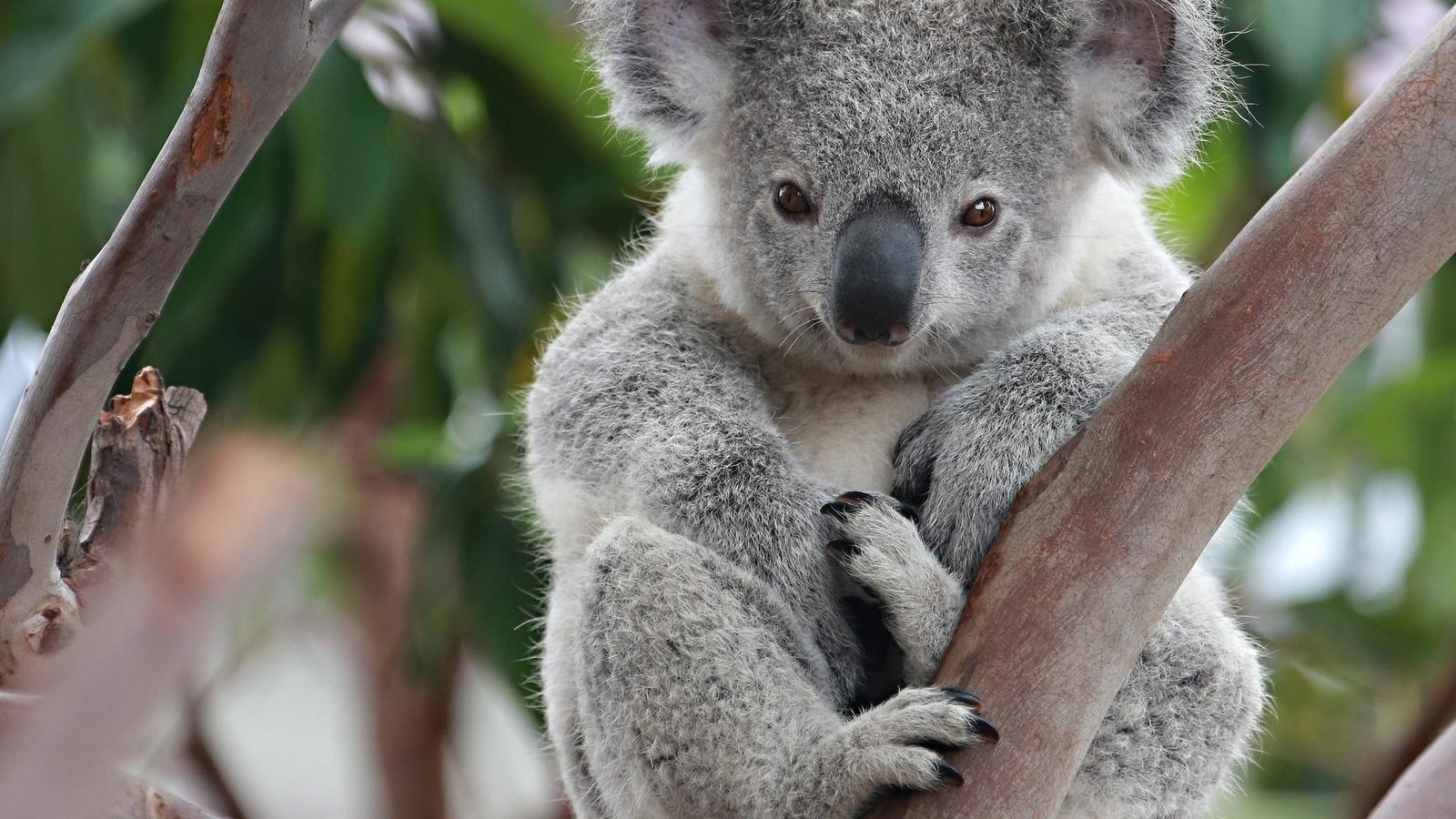 Животные живущие в австралии картинки донести