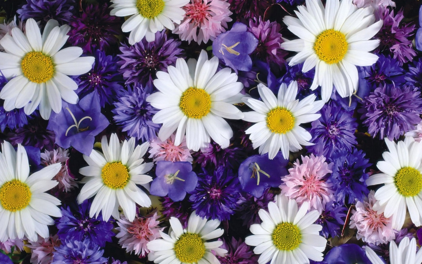 Открытки цветов ромашка