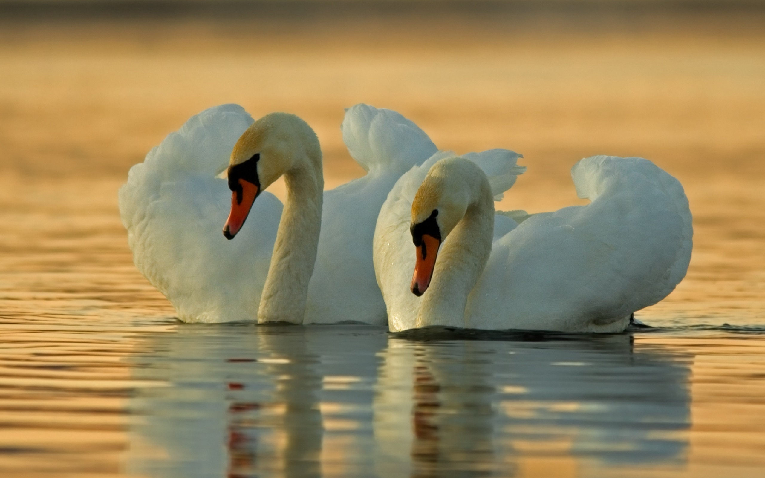 гугл картинки лебеди лютик, фото