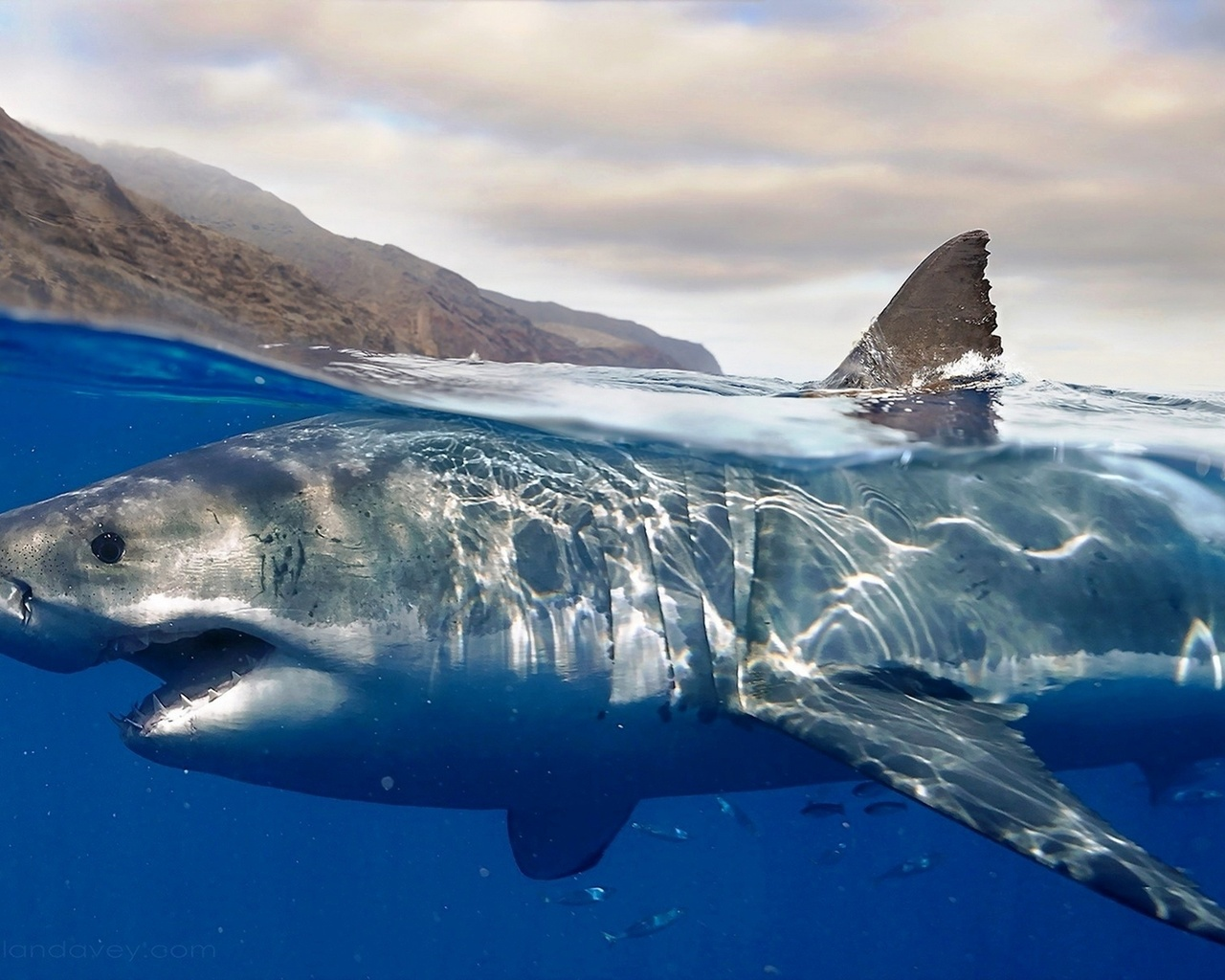 картинки акул на поверхности океана свои