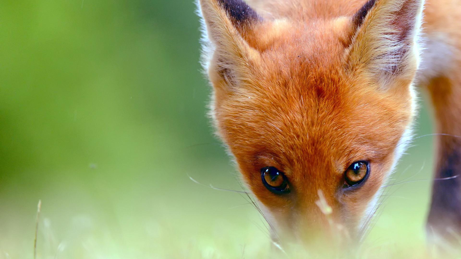 картинки лисы с зелеными глазами время решил создать