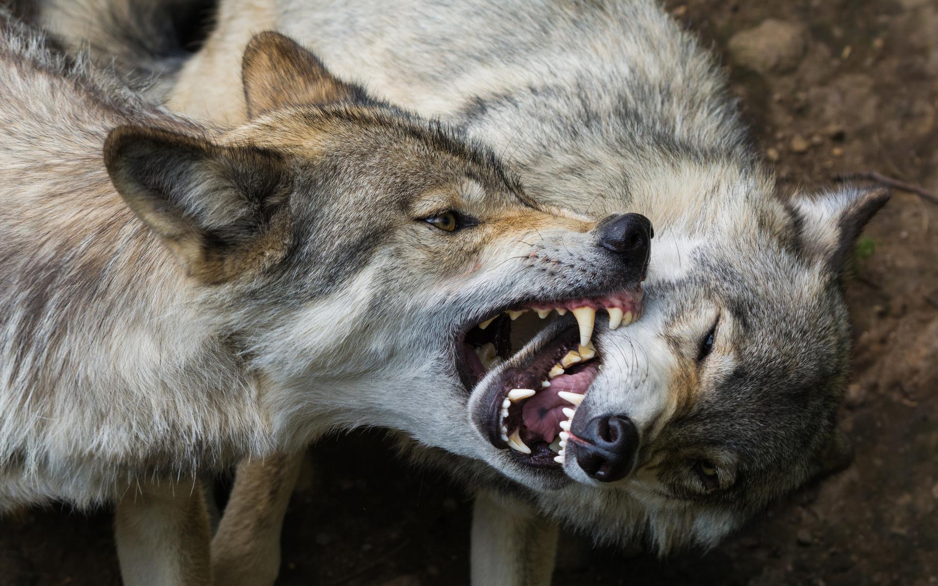 картинки волк с оскаленной пастью замечательно
