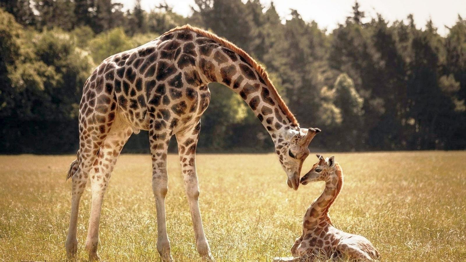 Жираф большая картинка
