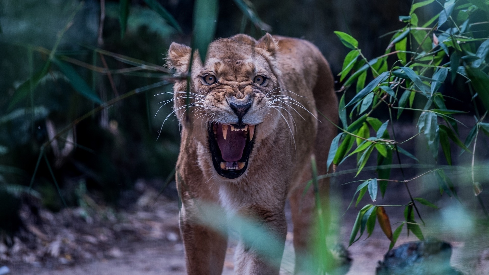 Картинка разъяренная львица