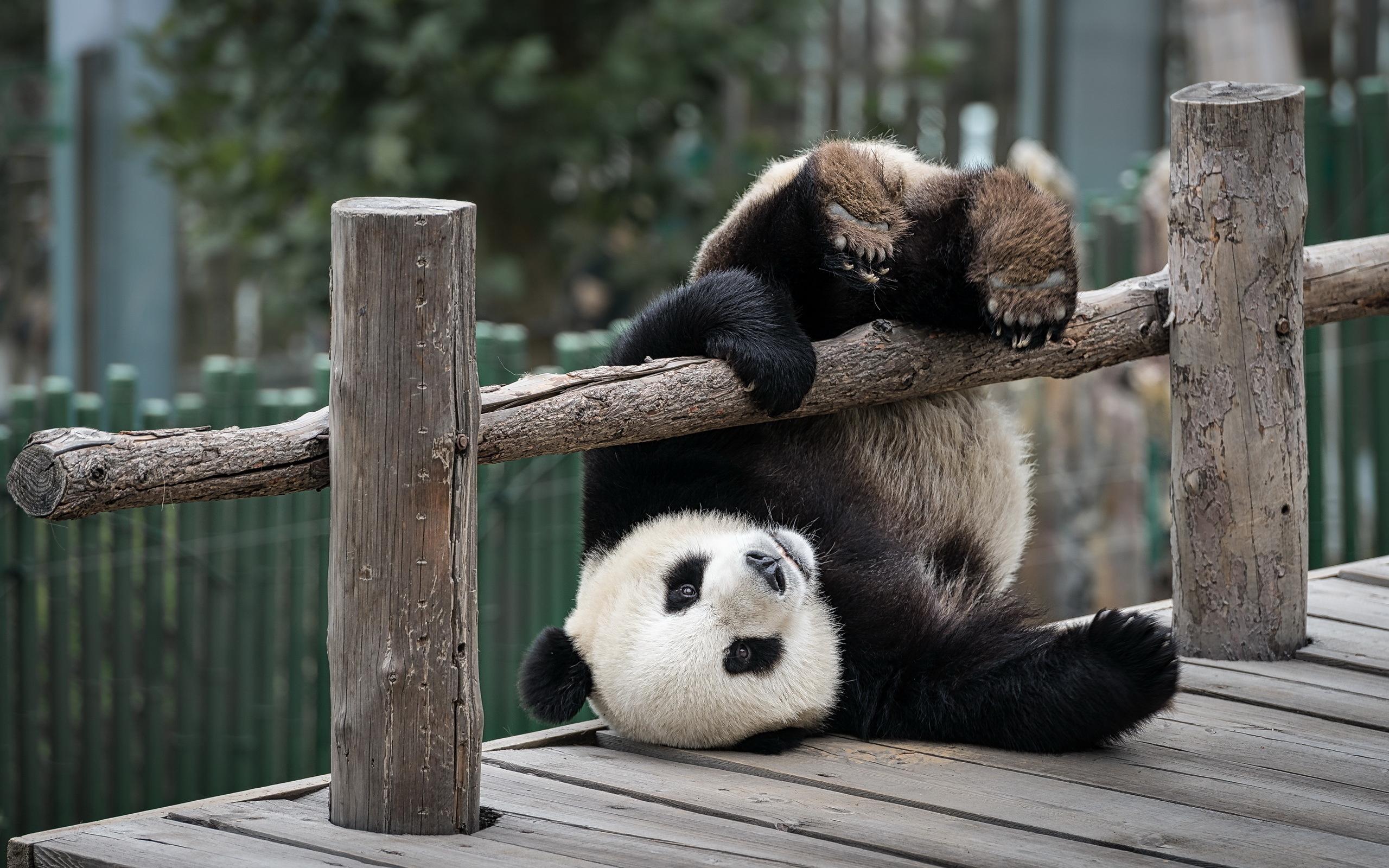 Картинки про панд прикольные