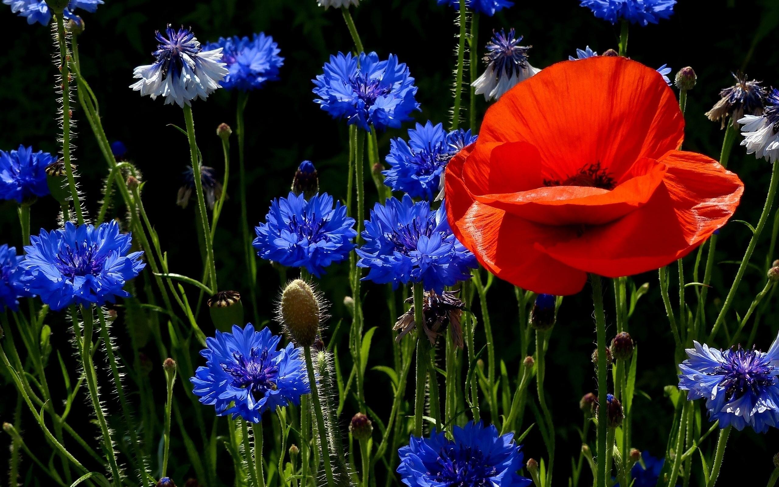 , картинки полевые цветы