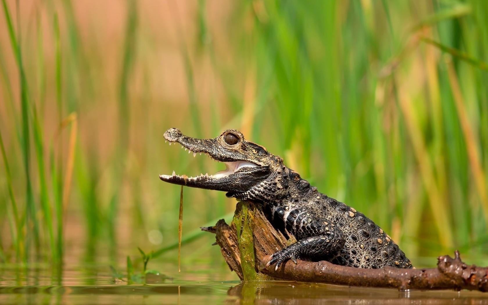 Картинки крокодила маленького